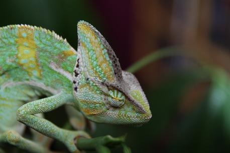 sleeping-chameleon-202417_1920